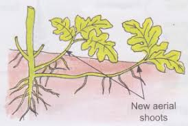 Vegetative Propagation By Roots - what is vegetative reproduction in plants