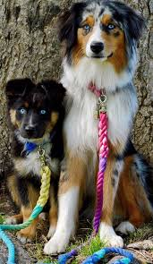 australian shepherd male names males at justa little aussie toy aussie mini minature australian