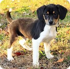 australian shepherd x kelpie beagle and shepherd mix u2013 asnm