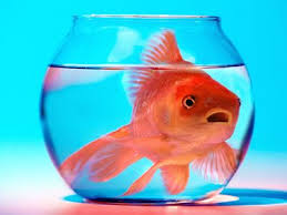 Your goldfish does not want to
