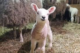 these adorable lambs are toronto u0027s newest internet sensation