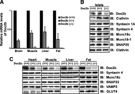doc2b is a key effector of insulin secretion and skeletal muscle