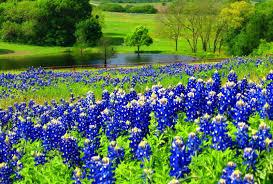 Bluebonnet Flowers - bluebonnets tag wallpapers texas bluebonnets flowers fields blue
