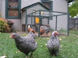 barnyard to backyard chicken coops more common in yakima valley