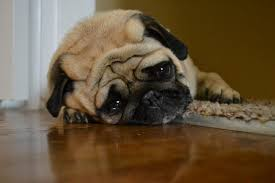 Depressed Pug Meme - 5 warning signs of depression in dogs nuzzle your gps pet tracker