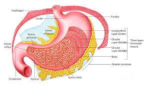 Human Anatomy Torso Diagram Human Anatomy Abdomen Female Human Anatomy Charts