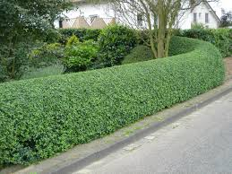 hedging plants budget wholesale nursery escallonia basically hedge that can be pruned into any shape and
