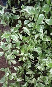 Teh Tehan jual jual tanaman teh tehan varigata ari flora