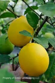 citrus edible landscaping