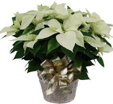 white poinsettia white poinsettia christmas plants poinsettias canada flowers ca
