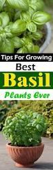 best 25 basil plant ideas on pinterest water plants growing