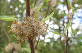 native plants nz olearia hectorii native plants