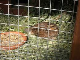 Backyard Quail Pens And Quail Housing by Would There Be Anything Wrong With Using A Rabbit Cage For A Quail