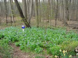 native plants of michigan how to grow virginia bluebells