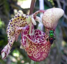 What Is An Orchid Flower - orchid bees the euglossines