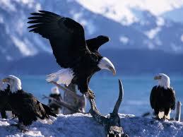 Hd American Flag Hd American Flag Bald Eagle Pics
