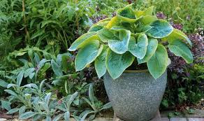 hostas plants that last all year garden life u0026 style express