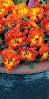 Container Gardening Flowers 91 Best Pansies At City Floral 2016 Images On Pinterest Pansies