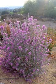 native drought tolerant plants 264 best best native u0026 drought tolerant plants images on pinterest