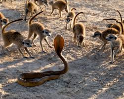 meerkat survival game national geographic society