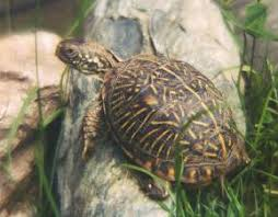 ornate box turtle facts and pictures reptile fact
