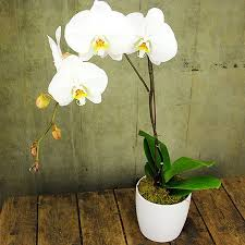 orchid plant phalaenopsis orchid plant delivered flowers for everyone