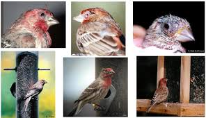 Diseases Of The Eye That Cause Blindness House Finch Eye Disease Feederwatch