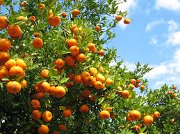 how to harvest oranges tips for picking oranges in the garden