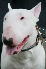 116 best bull terrier white and other images on pinterest