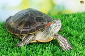health and illnesses in pet turtles pets4homes