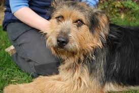 bearded collie x terrier bryne u2013 2 year old male german shepherd cross airedale terrier dog
