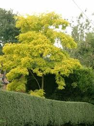 9 best robinia images on small gardens garden