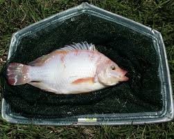 how to raise tilapia in the backyard http www ecosnippets com