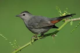 gray catbird audubon field guide