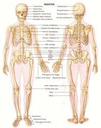Anatomy And Physiology 7th Edition Saladin Website For Just Anatomy Learn Anatomy Learn Part 11