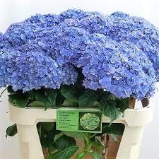Wholesale Flowers Near Me Hydrangea You U0026 Me Together Wholesale Flowers Uk Wedding