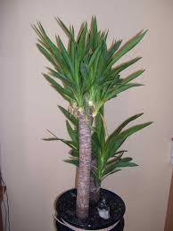 indoor tall indoor house plants low light houseplants you canut