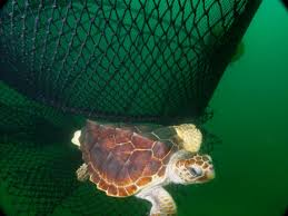 teds a net positive for fish and sea turtles oceana usa
