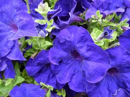 Blue And Purple Flowers 28 Blue And Purple Flowers Blue Amp Purple Flowers By