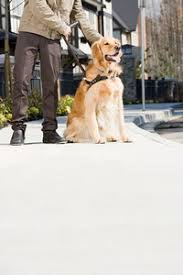 Training A Guide Dog For The Blind A Blind Person Is Led By Her Golden Retriever Guide Dog During The