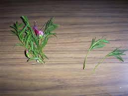 propagating australian native plants make new plants by taking cuttings mallee native plants