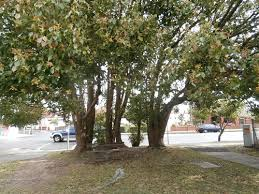 proposed tree removal in marrickville saving our trees