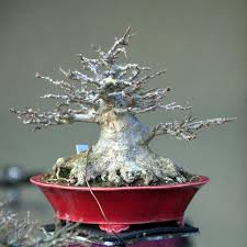 layering of a trident maple bonsai tree to improve the nebari
