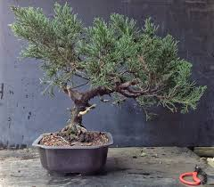 the worst juniper in the nursery i ll take that challenge