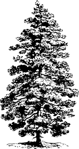 free vector graphic pine tree sketch coniferous fir free