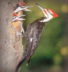 bird sounds calls pileated woodpecker