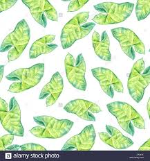 tropical wrapping paper a leaf of a tropical plant syngonium aroids is an el plant a