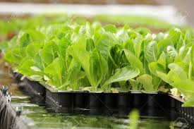 Hydroponics Vegetable Gardening by Hydroponic Vegetable Is Planted In A Garden Stock Photo Picture