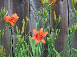 tiger lilies begin to bloom