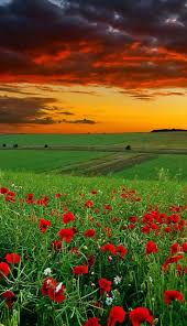 521 best amapolas images on pinterest nature landscapes and red